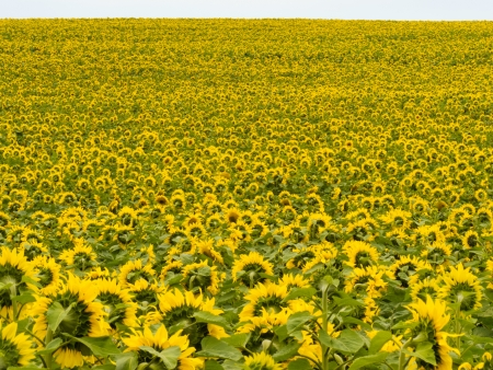 facing away: Environmental or agricultural background of a field of cheerful yellow sunflowers all pointing away from the camera into the light of the sun Stock Photo