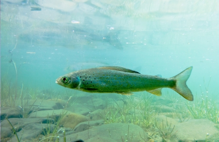 grayling: Freshwater fish Arctic Grayling, Thymallus arcticus, underwater waiting for food to float by.