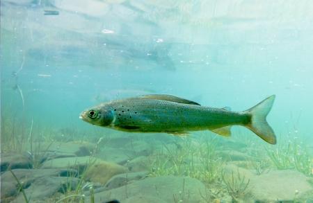 grayling: Peces de agua dulce del �rtico Grayling, Thymallus arcticus, bajo el agua esperando la comida que flotan.