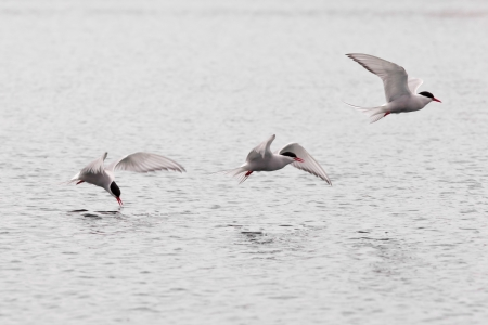 Stroboscopic study of Arctic Tern, Sterna paradisaea, picking up insect from water surface in full speed flight photo