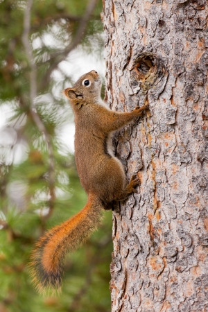 Curious cute American Red Squirrel, Tamiasciurus hudsonicus, climbing up a pine tree trunk