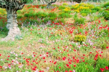 arboleda: Hermoso prado de flores silvestres que florecen bajo los olivos en las tierras agrícolas en Grecia, Europa