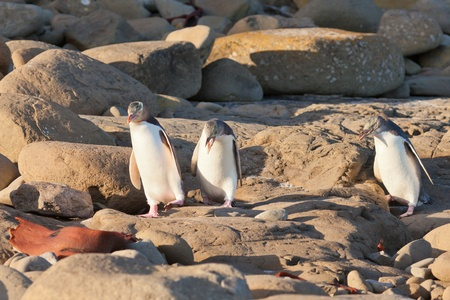 waddling: One adult and two juvenile native New Zealand Yellow-eyed Penguin, Megadyptes antipodes or Hoiho, walking or waddling on rocky shore