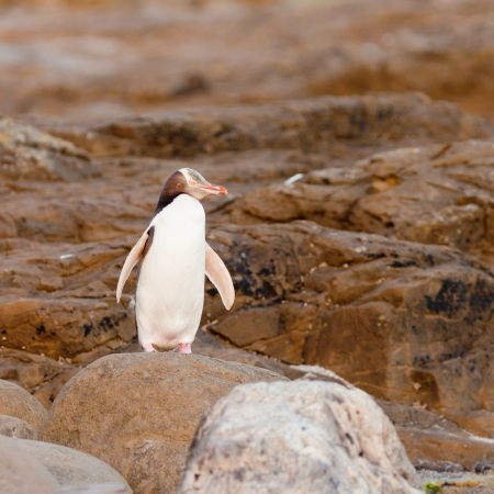 yellow eyed penguin: Adult native New Zealand Yellow-eyed Penguin, Megadyptes antipodes or Hoiho, resting on rocky shore at low tide