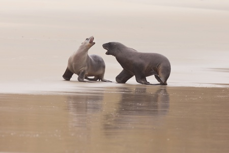 playful behaviour: Male and female Hookers sealions, Phocarctos hookeri, or whakahao, engaged in rough playful act of courtship behaviour on sandy beach
