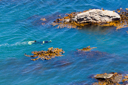 Lone snorkeller or diver in the ocean swimming on the surface looking down between offshore rocks with bull kelp aquatic plants photo