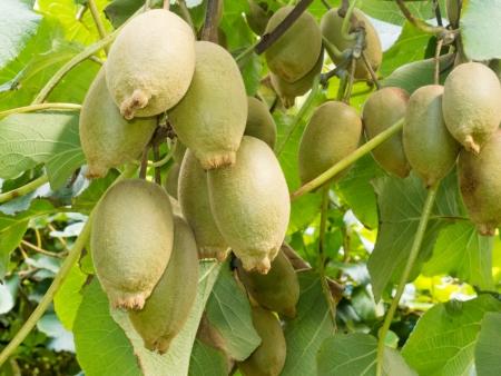 kiwi fruta: Primer plano de kiwis cultivados maduros, Actinidia deliciosa, la horca en gran medida de las vides listas para ser cosechadas como un cultivo agrícola Foto de archivo