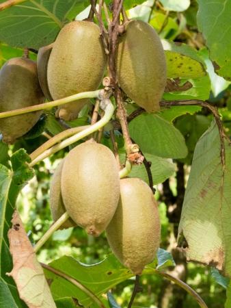 kiwi fruta: Detalle de kiwis cultivados maduras, Actinidia deliciosa, colgando pesadamente de vides listas para ser cosechadas como un cultivo agrícola