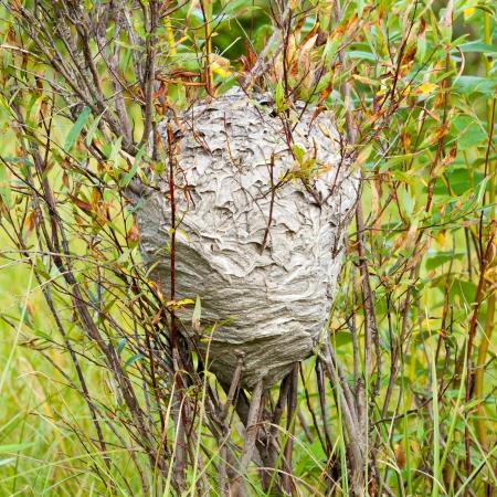 avispa: Avispa enorme gris parecida al papel social de la jerarquía del integrado y unido a sauce arbusto