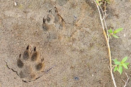 Wolf, Canis lupus, paw foot prints track in soft mud and green willow leaves