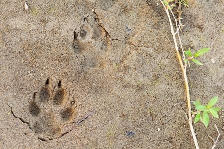 huellas de animales: Wolf, Canis lupus, pie pata imprime huella en el barro blando y hojas verdes de sauce