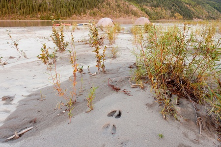 boreal: Two tents pitched on a sand bar alongside Yukon River, Yukon Territory, Canada, in remote boreal forest wilderness with moose track in foreground