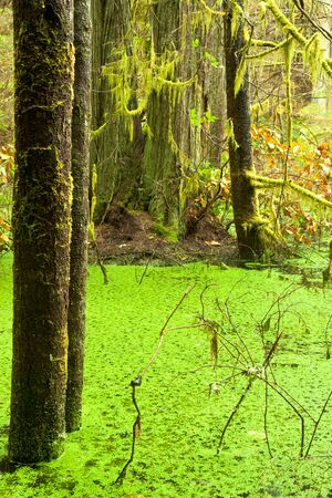 temperate: Temperate rainforest wetland wildernis landscape of West Coast  BC  Canada