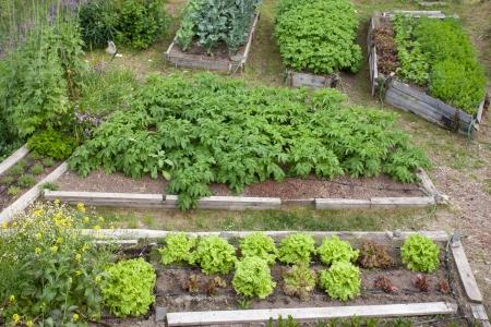 Nette verhoogde bedden van aardappelen bloemkool broccoli sla wortelen en pastinaak als assortiment van verschillende inlandse verse groente en kruiden planten in houten frames voor gemakkelijke teelt Stockfoto