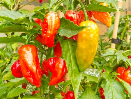 solanaceae: Specialty peppers Bhut Jolokia or Ghost Chili (Capsicum chinense x Capsicum frutescens) Family Solanaceae Assam North India almost ripe to harvest on plant Stock Photo