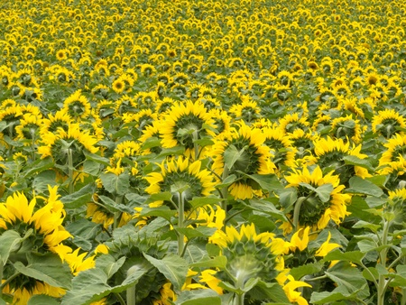 facing away: Environmental or agricultural background of a field of cheerful yellow sunflowers all pointing away from the camera
