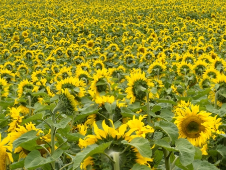 facing away: Environmental or agricultural background of a field of cheerful yellow sunflowers all but a few pointing away from the camera Stock Photo