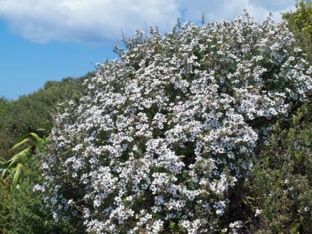 silvery: Flowering New Zealand teatree  Manuka  Leptospermum scoparium  dwarfed shrub in exposed location on Tawarahanui Peninsula  North Island  NZ
