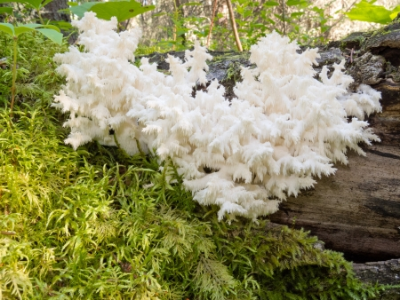 Beautiful Coral spine fungus, Coral Hericium or Hericium coralloides is an delicious edible white mushroom looking like icicles growing on dead wood