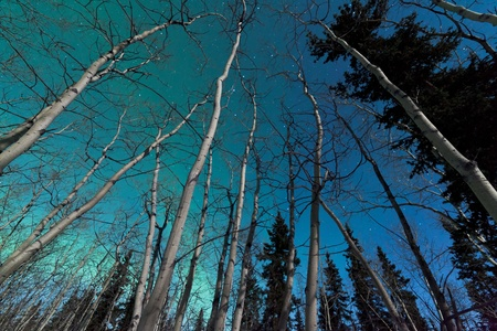 yukon: Green swirls of Northern Lights or Aurora borealis or polar lights in moon-lit night sky over spruce and aspen trees of taiga boreal forest