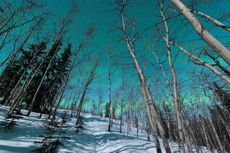 boreal: Green bands of Northern Lights or Aurora borealis or polar lights in moon-lit night sky over winter taiga boreal forest
