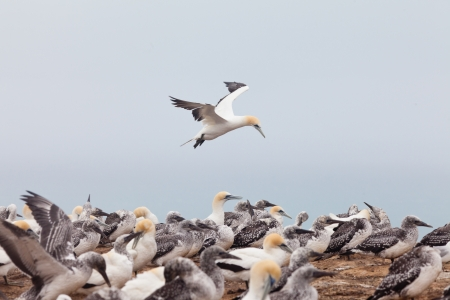 australasian: Colony of Australasian Gannets  Morus serrator  fledging youngs and feeding adult birds Stock Photo