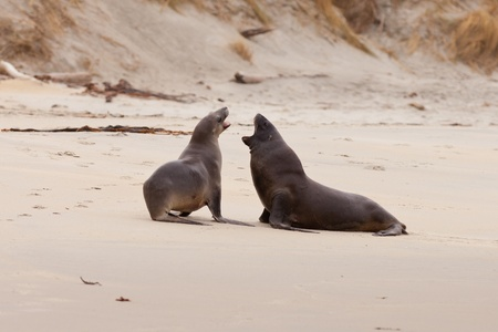 playful behaviour: Male and female Hookers sealions  Phocarctos hookeri  or whakahao  engaged in rough playful act of courtship behaviour on sandy beach