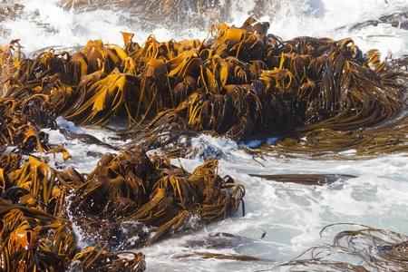 alga marina: Bull Kelp o Durvillaea Antártida hojas flotando en el oleaje en la superficie de la textura del modelo de fondo marino