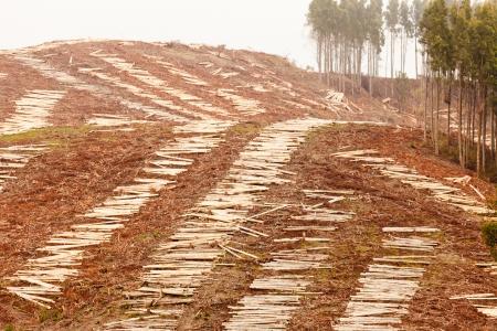 deforestacion: La deforestación de las laderas de la tala del bosque de eucalipto maduro para la cosecha de madera Foto de archivo