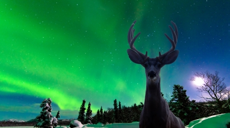 the aurora: Curious mule deer  Odocoileus hemionus  staring in camera while photographing spectacular display of green Northern Lights  Aurora borealis over moon-lit boreal forest taiga