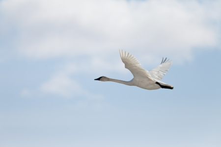 cygnus buccinator: Graceful adult white trumpeter swan  Cygnus buccinator  flying in sky full of clouds with neck extended as it migrates to its arctic nesting grounds with copyspace