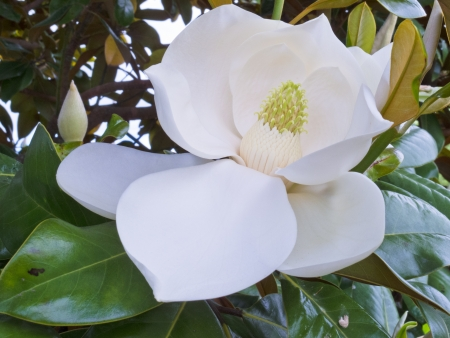 White Flower of Magnolia tree  Magnolia sp.  and leathery leaves close up photo