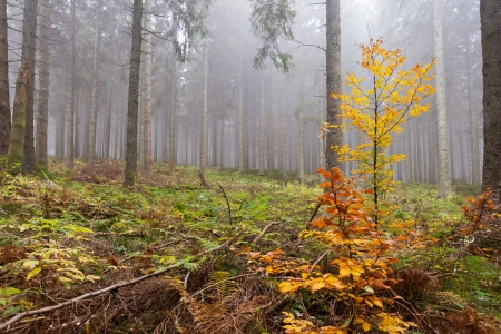 underbrush: Wet and foggy peaceful fall day in the forest with tall old coniferous trees and partly fall-colored underbrush