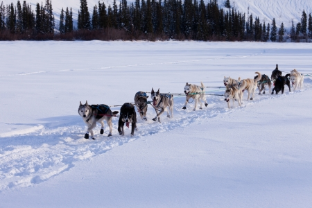 mushing: Dogsled team of siberian huskies out mushing on snow pulling a sled that is out of frame through a winter landscape