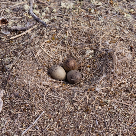 birdnest: American Herring Gull  Larus argentatus smithsonianus  seagull nest on ground with three mottled eggs to be incubated Stock Photo