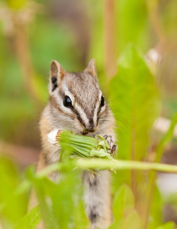 Cute little Least Chipmunk Tamias minimus foraging between green plants for dandelion buds