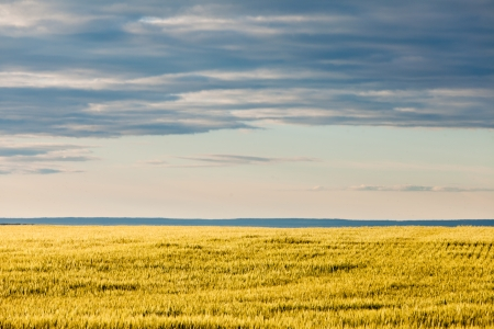 Rural abstract scenery of ripe wheat on field in yellow evening sun under a dramatic cloudy sky  Alberta  Canada photo