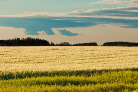 Rural abstract scenery of ripe wheat on field in yellow evening sun with green line of distant forest on horizon  Alberta  Canada photo