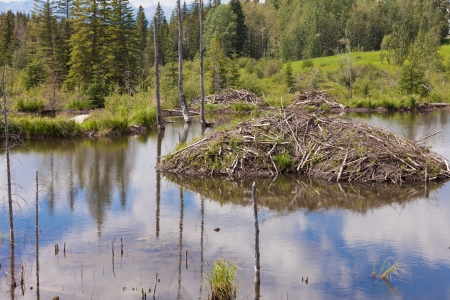 lodge: Beaver  Castor canadensis  lodge den home in boreal forest  taiga  wetlands of Alberta  foothills to Rocky Mountains  made from lots of sticks and mud Stock Photo