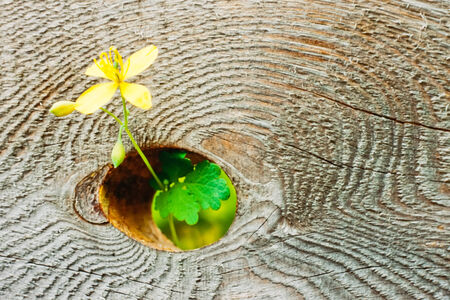Delicate yellow flower growing through knothole in thick wooden board with rough wood texture