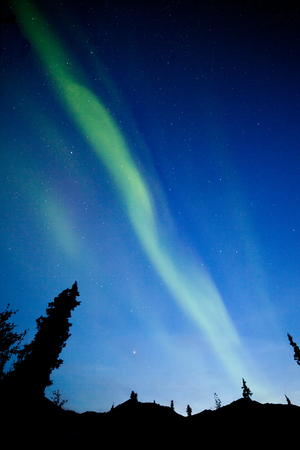 yukon: Intense bands of Northern lights or Aurora borealis or Polar lights dancing on night sky over boreal forest spruce trees of Yukon Territory, Canada