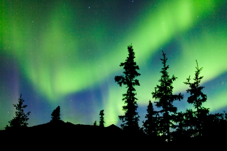 Intense bands of Northern lights or Aurora borealis or Polar lights dancing on night sky over boreal forest spruce trees of Yukon Territory, Canada