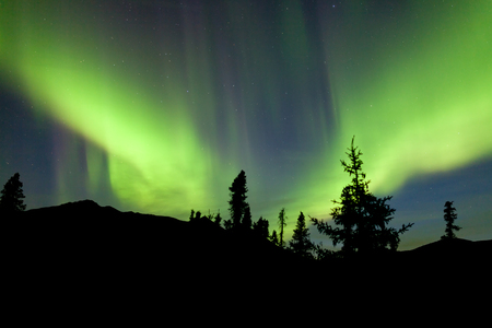 boreal: Intense bands of Northern lights or Aurora borealis or Polar lights dancing on night sky over boreal forest spruce trees of Yukon Territory, Canada