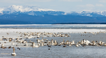 gather: Migratory waterfowl such as swans, geese, ducks gather at Swan Haven, Marsh Lake, Yukon Territory, Canada