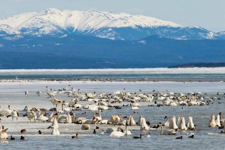 yukon: Migratory waterfowl such as swans, geese, ducks gather at Swan Haven, Marsh Lake, Yukon Territory, Canada