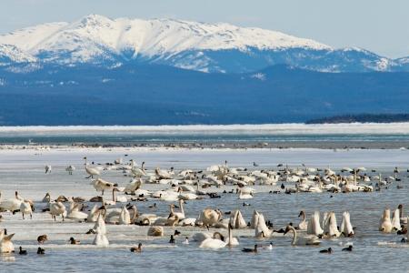 cygnus buccinator: Migratory waterfowl such as swans, geese, ducks gather at Swan Haven, Marsh Lake, Yukon Territory, Canada