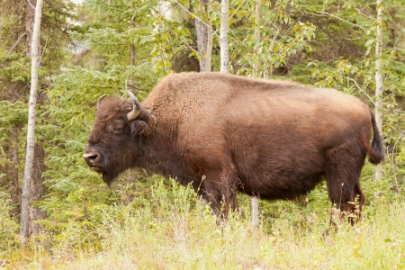 conservation grazing: Profile close up view of a large male wood buffalo or wood bison, Bison bison athabascae, on pasture alongside woodland