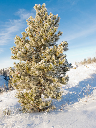 sub zero: Solitaire pine tree covered in beautiful sparkling white hoar frost or snow built up and deposited during sub zero temperatures in snowy winter landscape under blue sunny sky