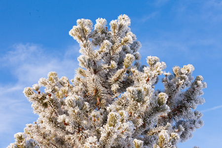 sub zero: Winter pine tree covered in beautiful sparkling white hoar frost or snow built up and deposited during sub zero temperatures under clear blue sunny sky