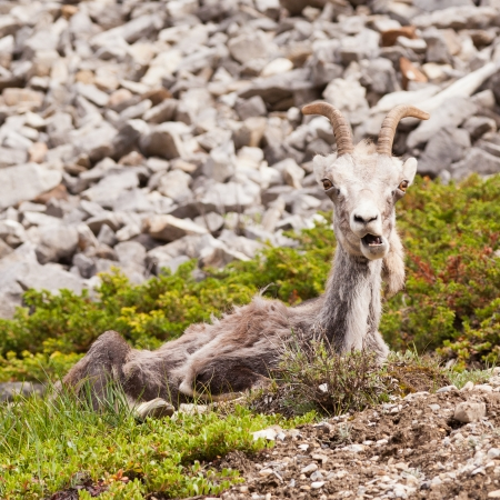 canadian rockies: Female Stone Sheep, Ovis dalli stonei, or thinhorn sheep resting and curiously watching with funny expression, wildlife of northern Canadian Rocky Mountains, British Columbia, Canada Stock Photo